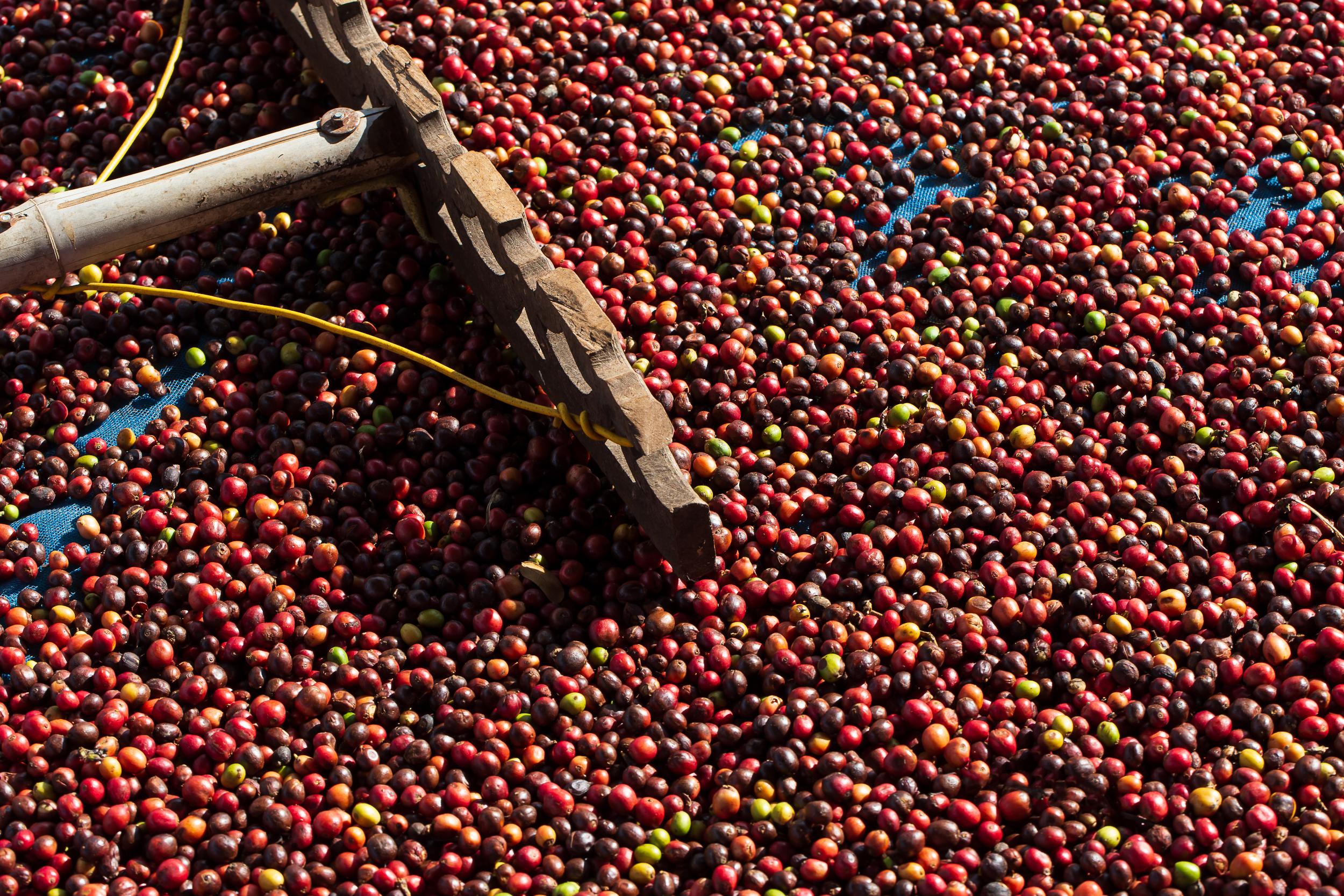 Świeże jagody kawy Arabica. Kawa Etiopia Guji